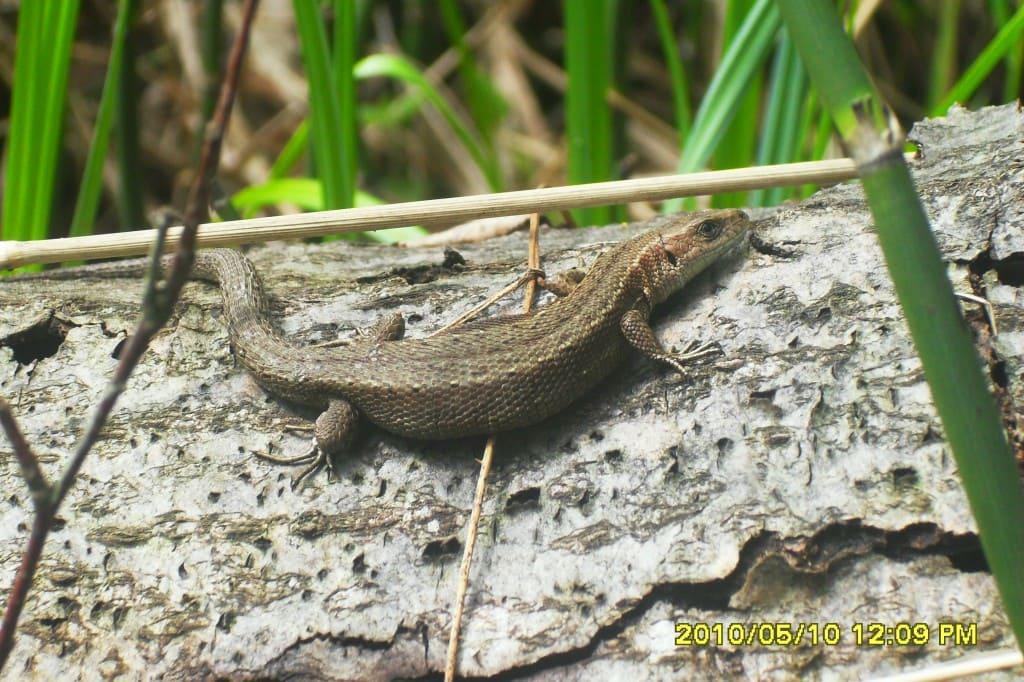 Ящерка на озере Рытое