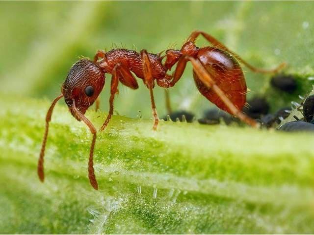 Красный лесной муравей