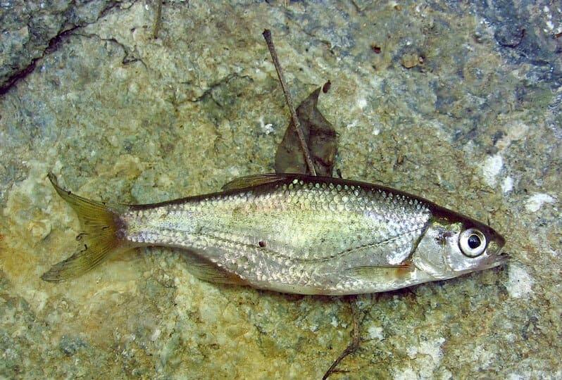Рыба быстрянка: фото и описание