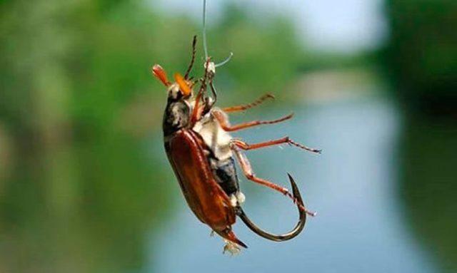 Как правильно насаживать майского жука