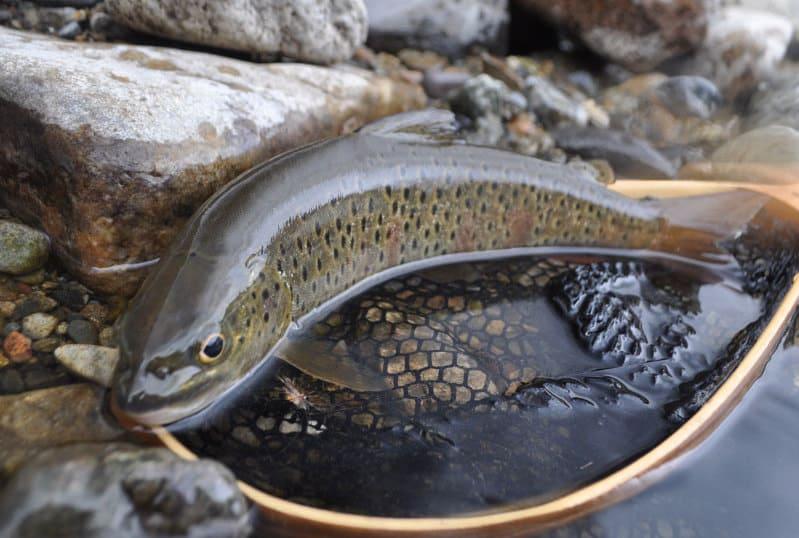 Рыба ленок: фото и описание