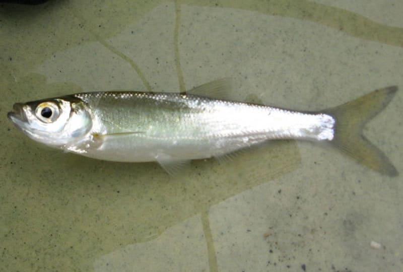 Рыба шемая: фото и описание