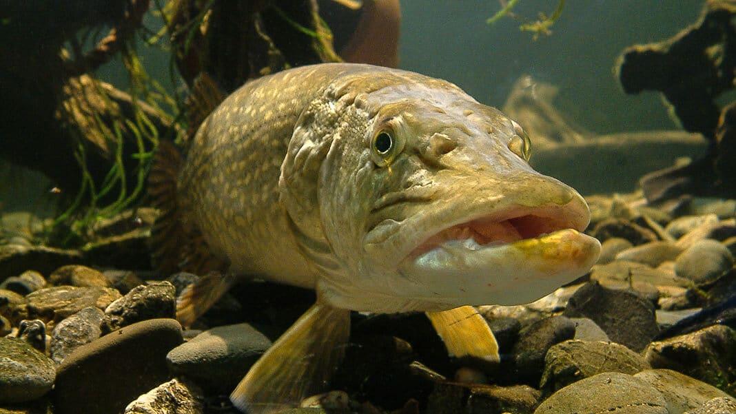 Рыба щука: фото и описание