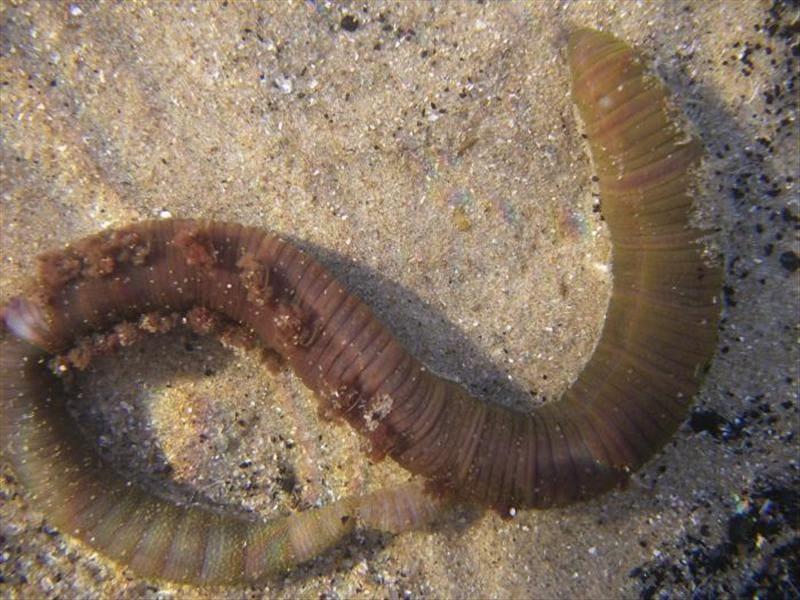 Заготовление червя пескожила для морской рыбалки
