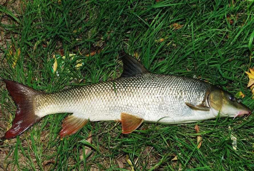 Рыба усач: фото и описание