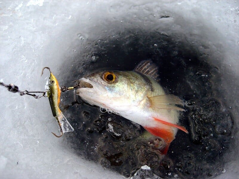 Зимняя рыбалка на окуня: хитрости и секреты