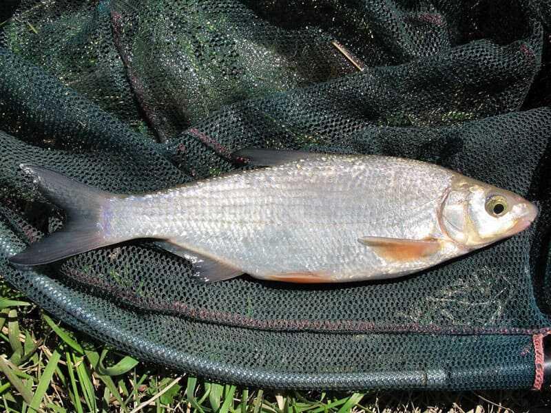 Рыба рыбец (сырть): фото и описание
