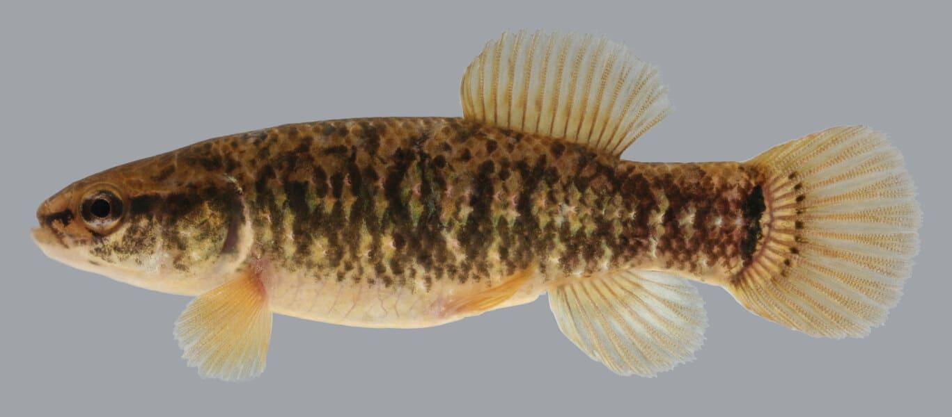 Рыба умбра: фото и описание