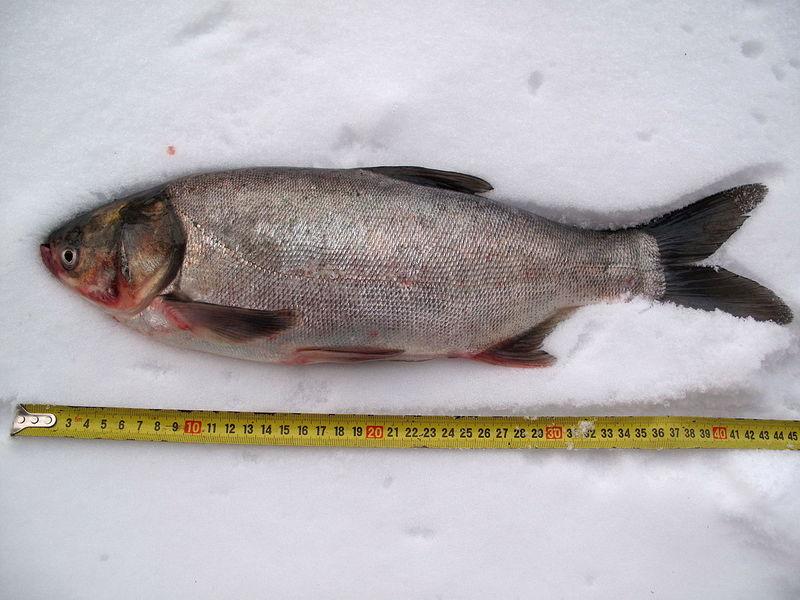 Рыба толстолобик: фото и описание