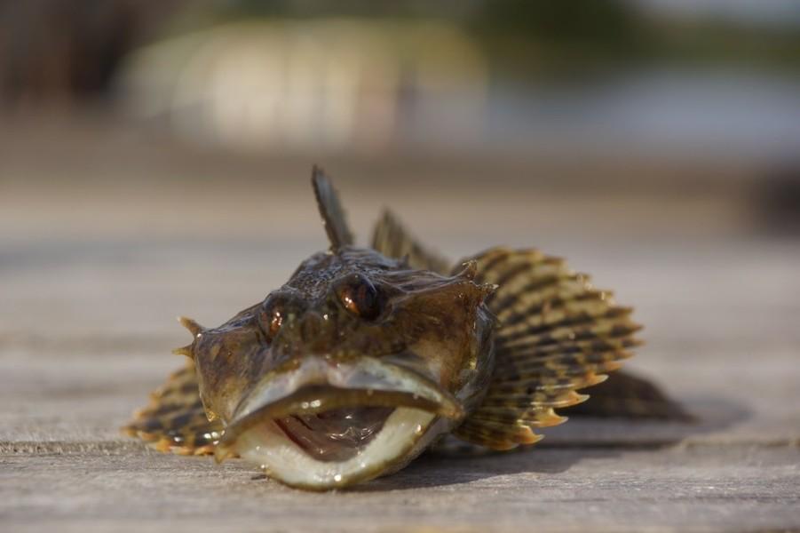 Рыба морской скорпион: фото и описание