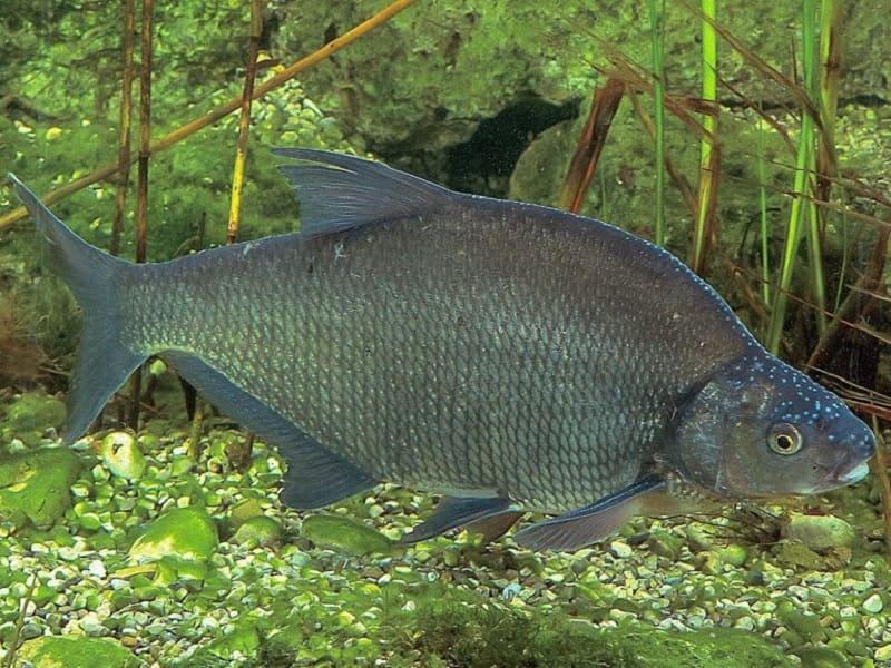 Рыба лещ: фото и описание