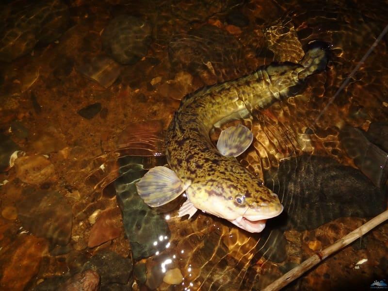 Рыба налим: фото и описание