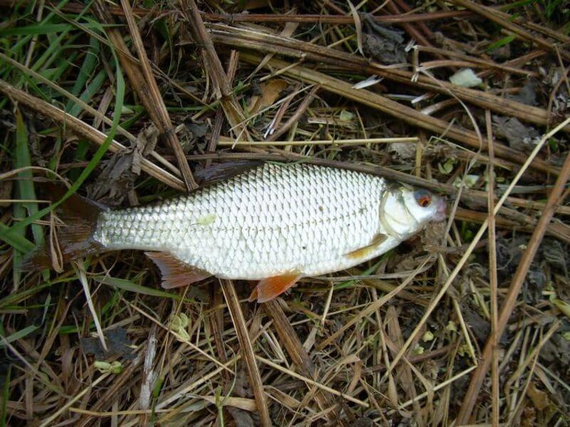 Рыба плотва: фото и описание