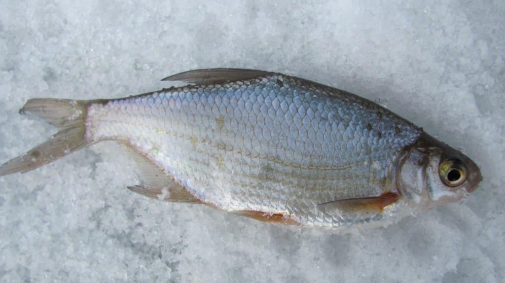 Густера зимний улов