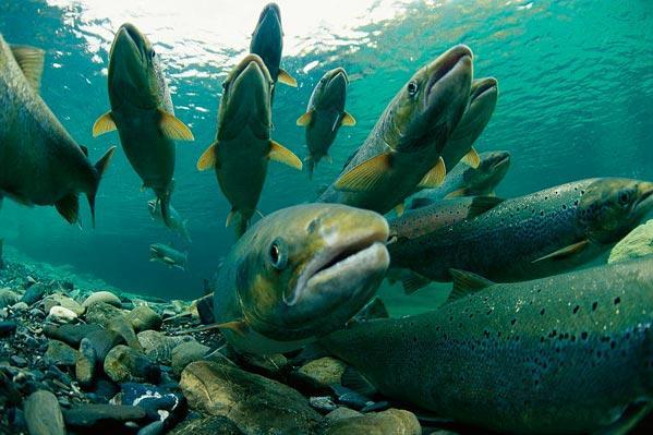 Размножение, нерест лосося