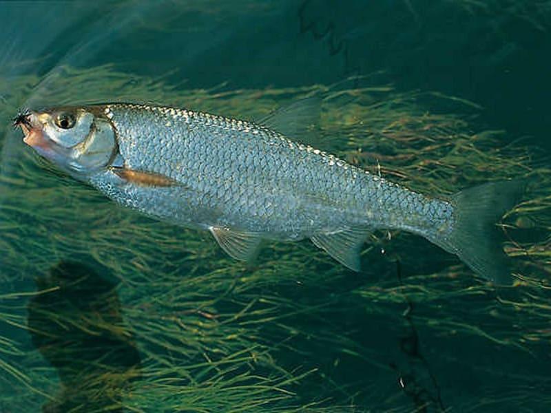 Рыба елец: фото и описание