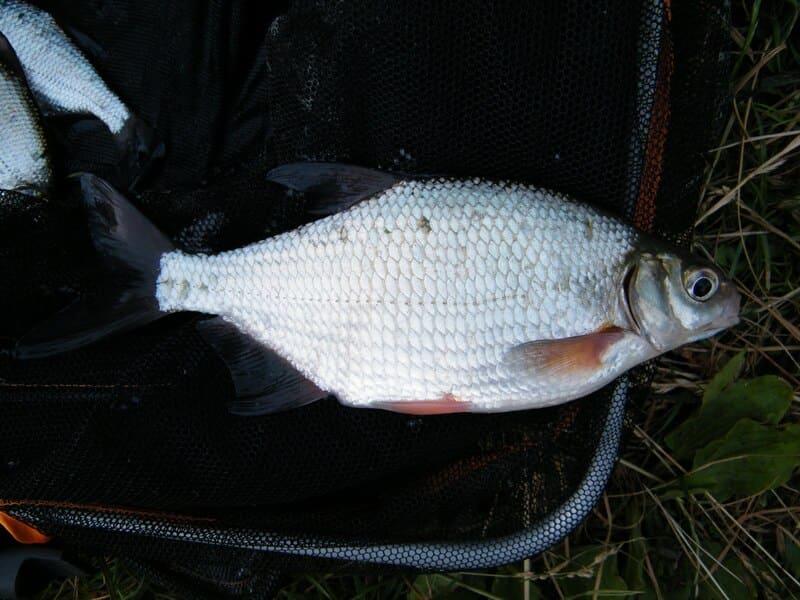 Рыба густера: фото и описание