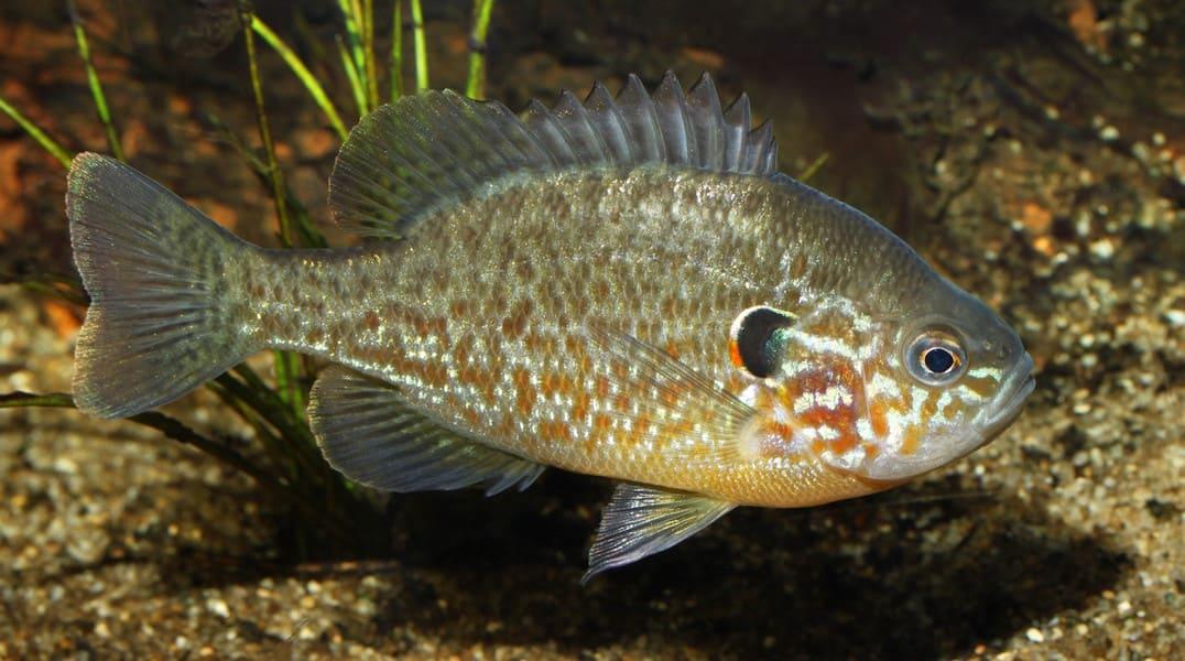 Рыба солнечный окунь: фото и описание