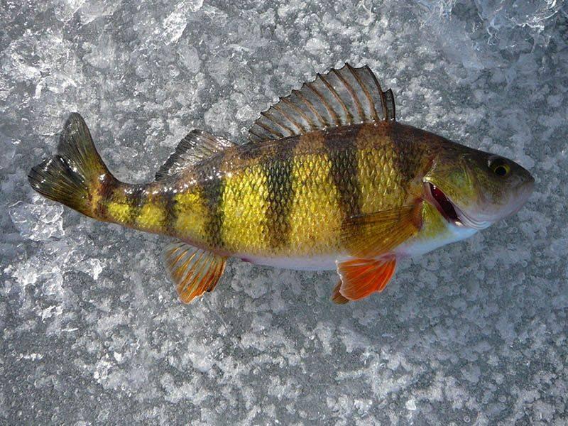 Рыба окунь: фото и описание