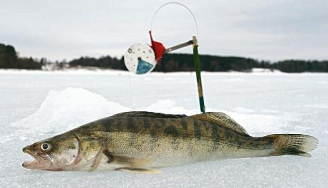 Ловля судака на жерлицу зимой
