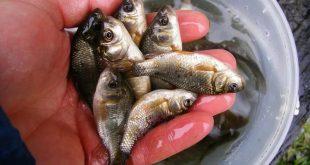 Как сохранить живца на зимней рыбалке