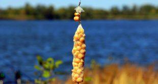 Ловля сазана на распаренную кукурузу