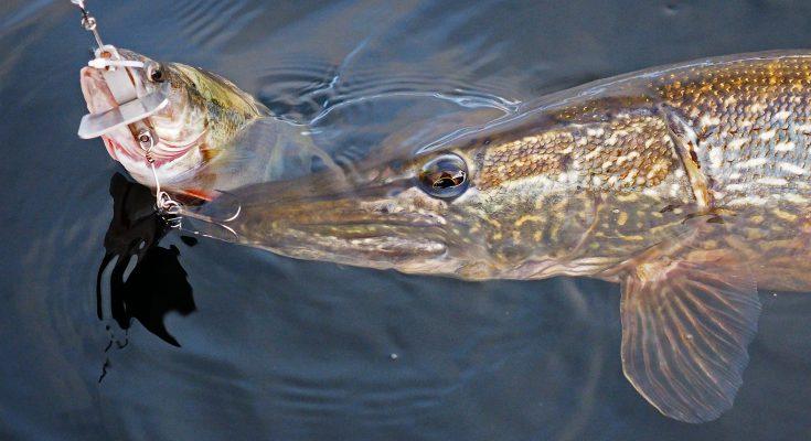Погода для рыбалки на щуку – как ее определить?
