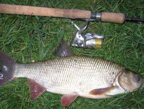 Рыба язь: фото и описание