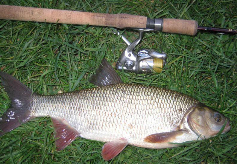 лицевой язь рыба фото и описание занимается
