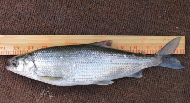 Рыба омуль: фото и описание