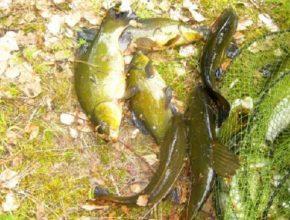 Линь на рыбалке