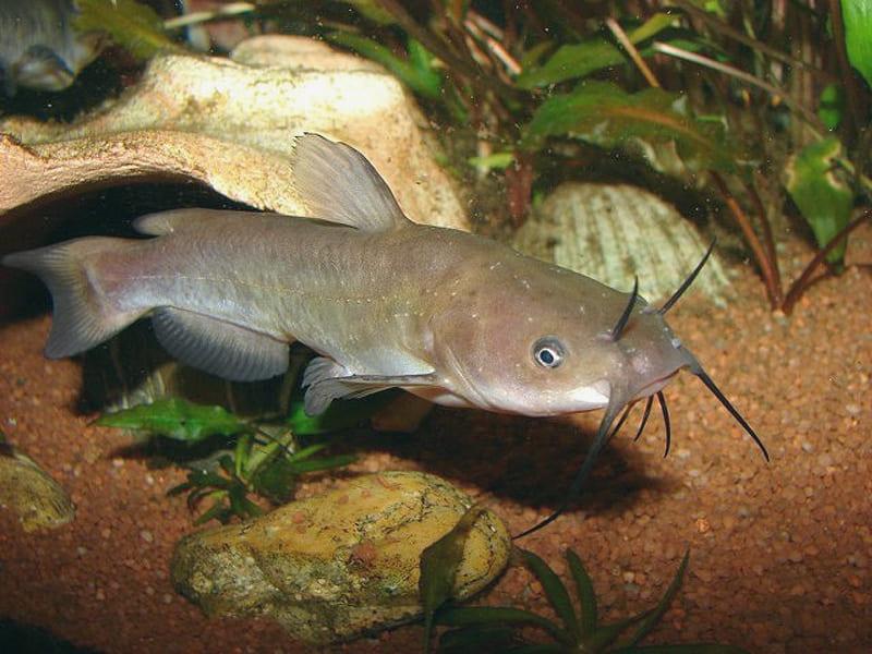 Рыба американский сомик: фото и описание