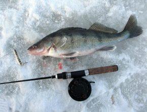 Зимняя рыбалка на берша: особенности и снасти