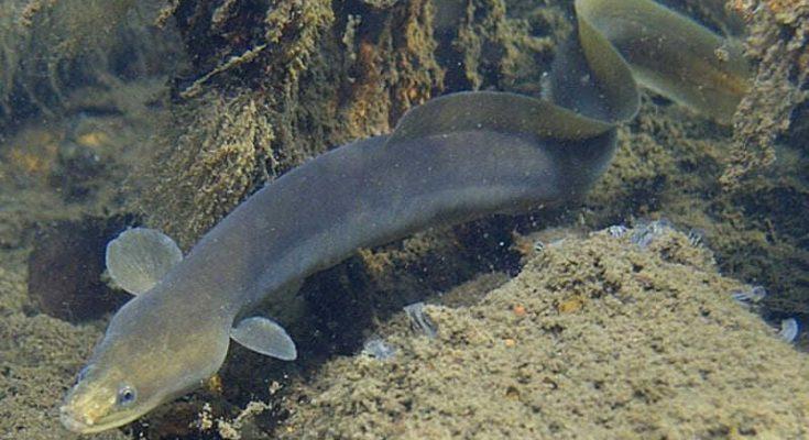 Рыба угорь: фото и описание