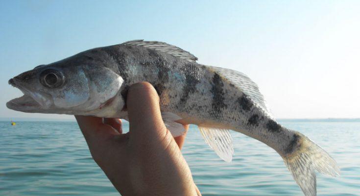 Рыба берш: фото и описание