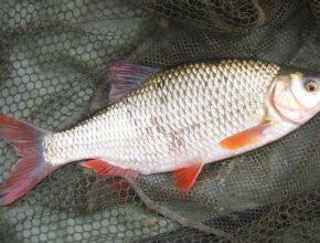 Рыба красноперка: фото и описание