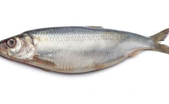 Рыба сельдь: фото и описание