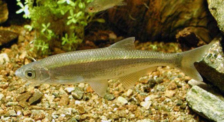 Рыба уклейка: фото и описание
