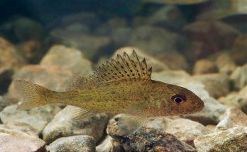 Рыба ерш: фото и описание