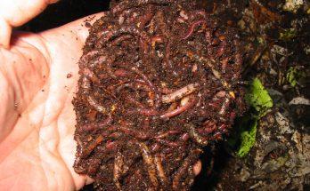 Как развести червей для рыбалки в огороде